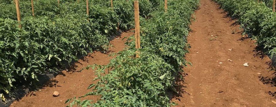 Kalemljenje epigenetski modifikovanih biljaka